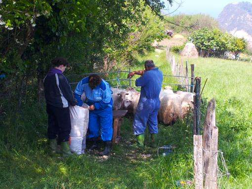 Caseros esquilando a las ovejas.